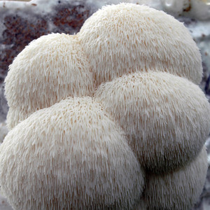 Pom Pom Lion's Mane mushroom home growing kit