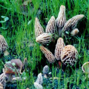 Grow your own Morel Mushroom; Morel Mushrooms growing in a Morel Habitat.
