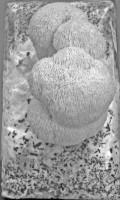 Clusters Of Lion's Mane Mushroom on a Mushroom Log