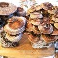 Two Shiitake Mushroom Logs